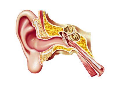 human ear anatomy