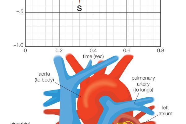 cardiac anatomy showing the electrical system of the heart