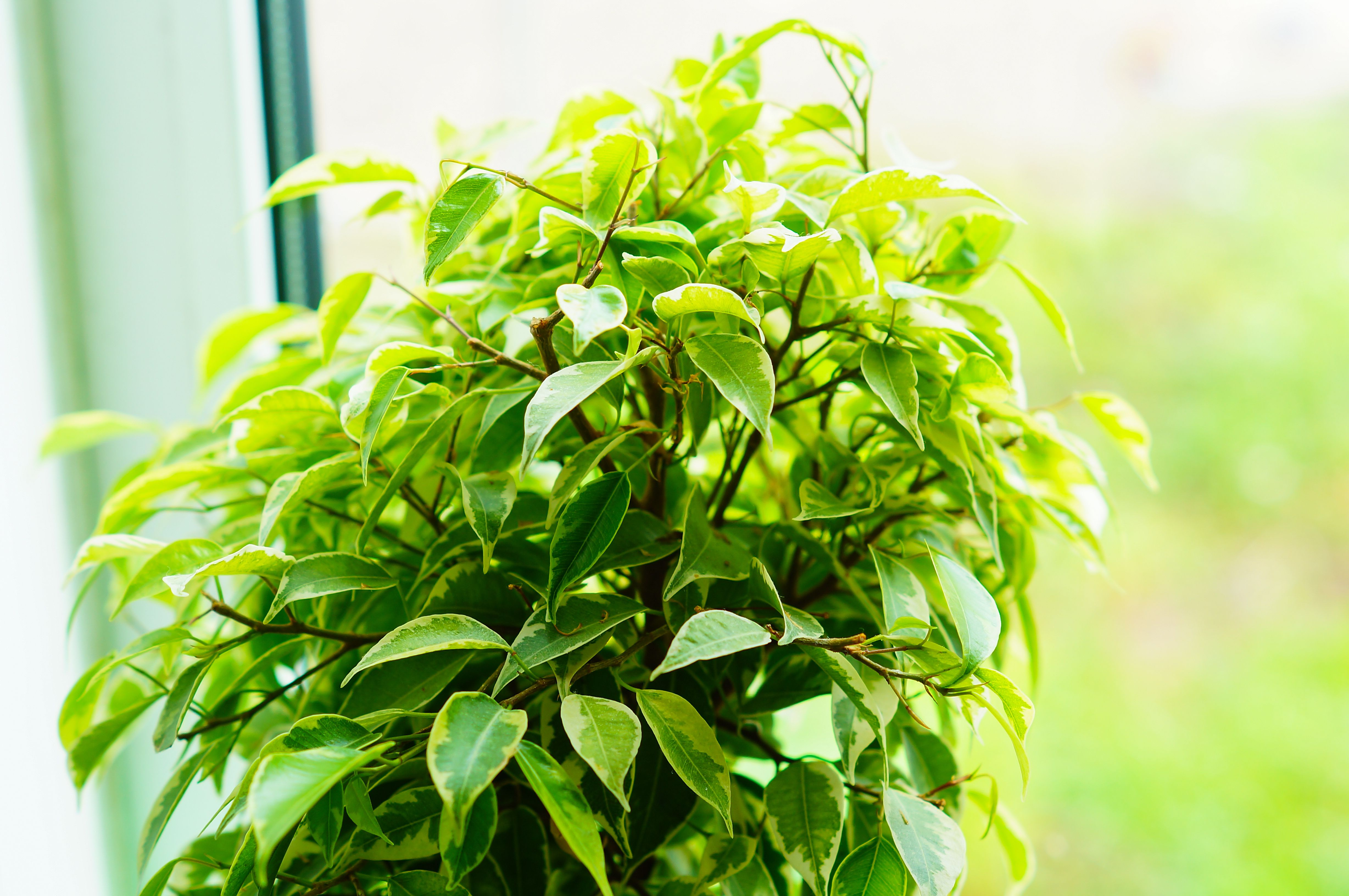 Glossy green leaves of a ficus of Benjamin