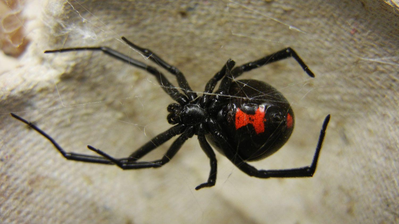 How To Diagnose Black Widow Bites