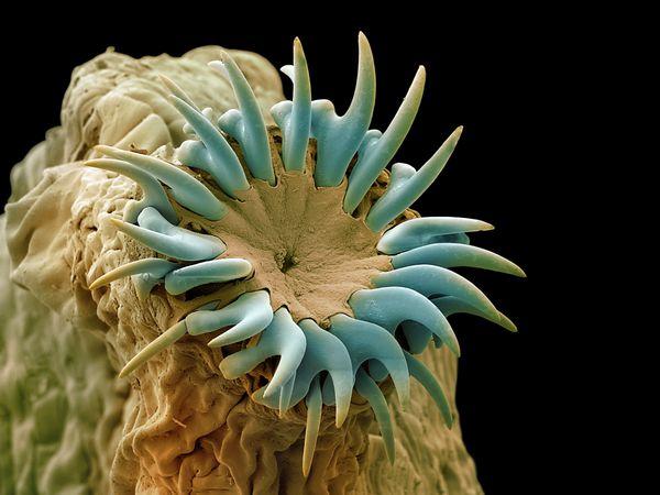 Coloured scanning electron micrograph (SEM) of the head (scolex) of a dog tapeworm (Taenia pisiformis).