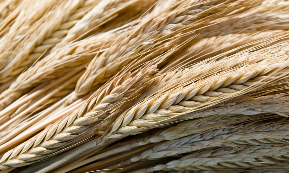 Wheat-stalks-Ida-C.-Shum.jpg