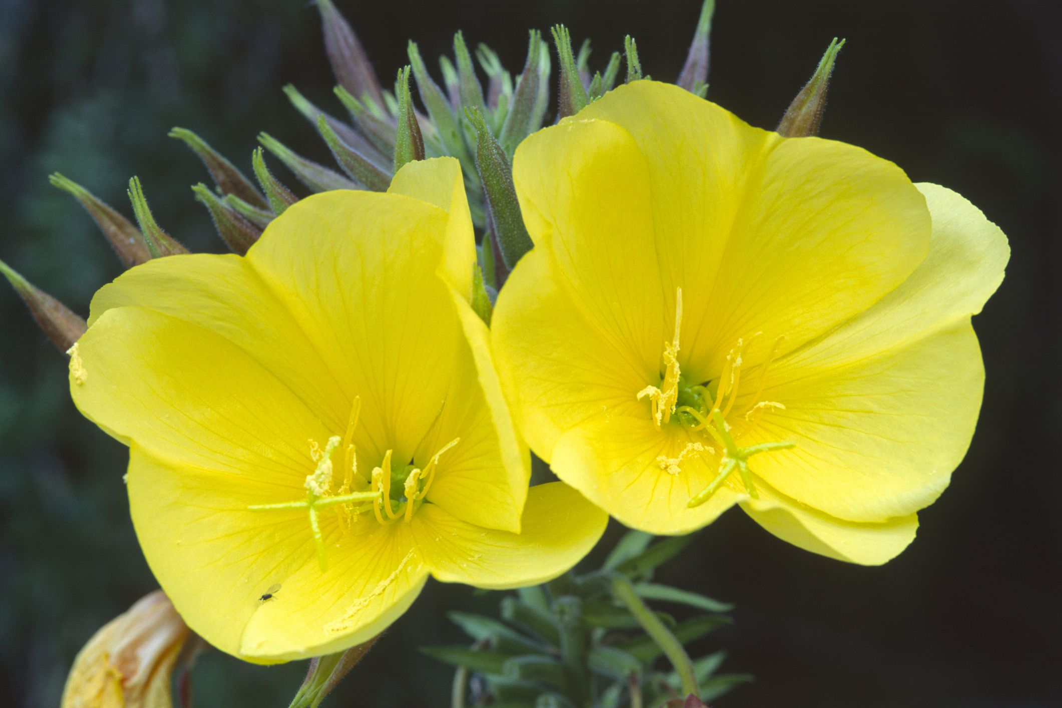 Evening Primrose Oil: Benefits, Side Effects, Interactions