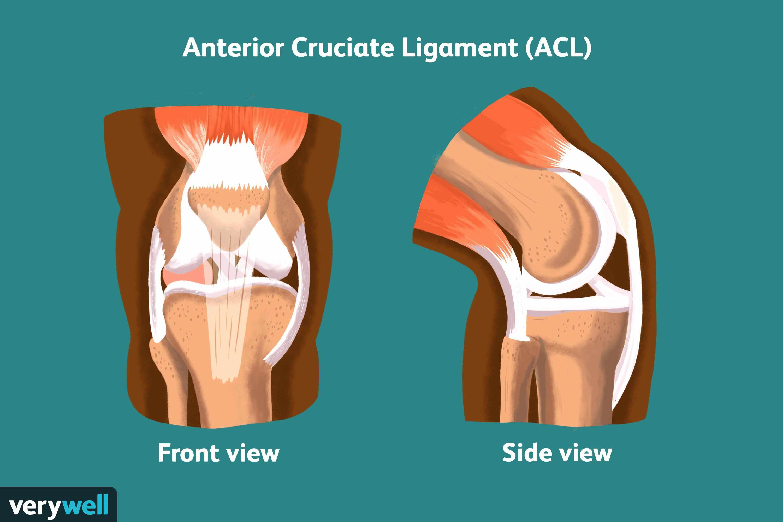 Diagram of anterior cruciate ligament.