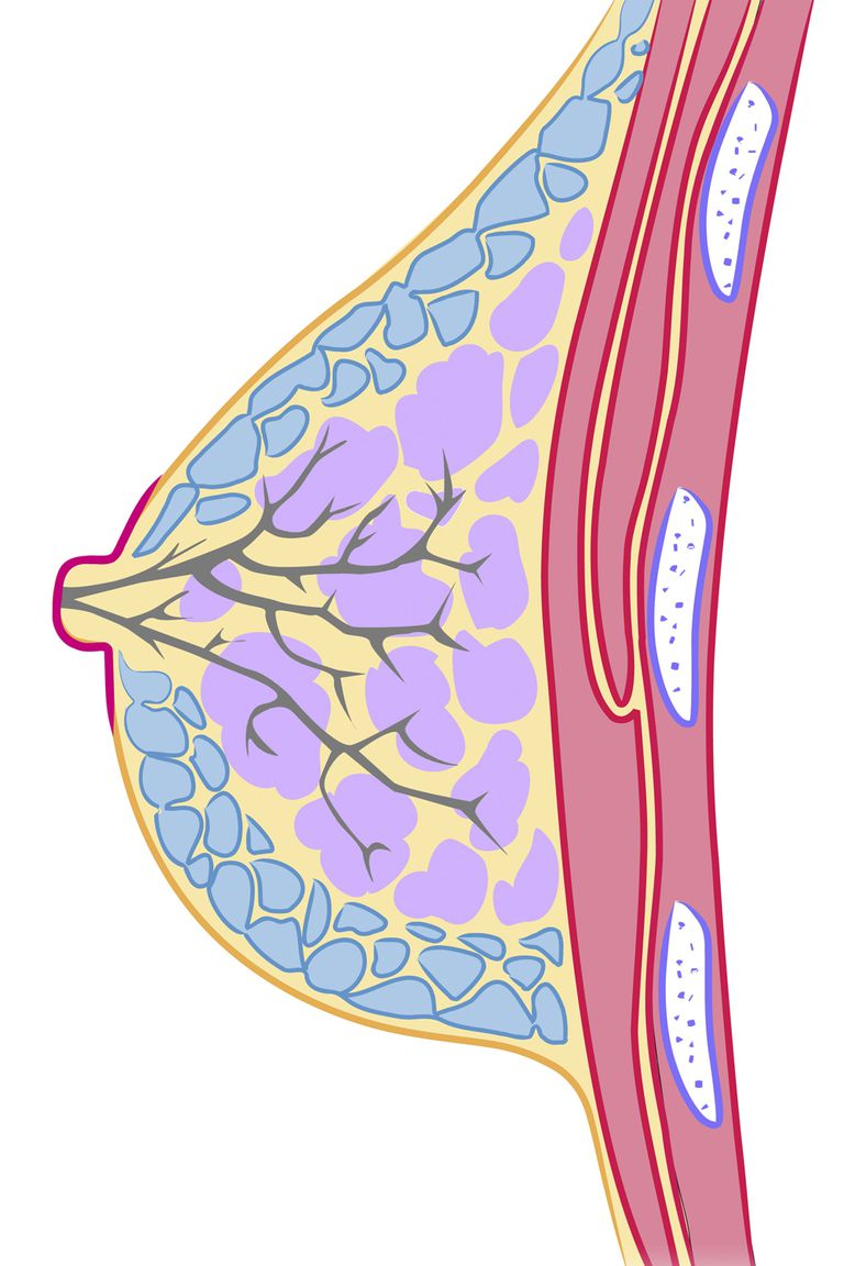 An illustration of a female breast showing anatomy of nipples and more
