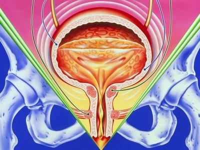 female urinary tract