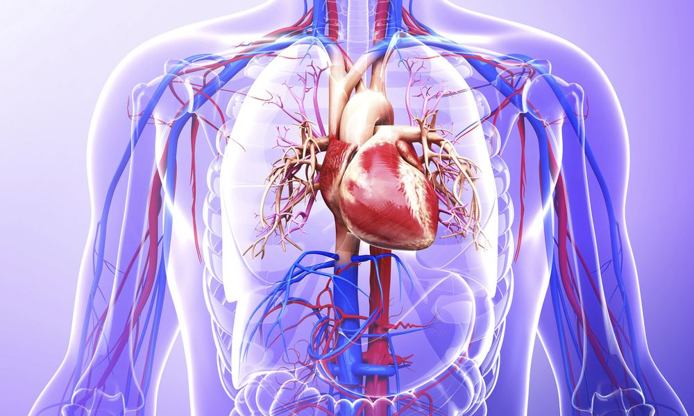 Human cardiovascular system