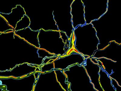 Dopaminergic neuron primarily responds to dopamine