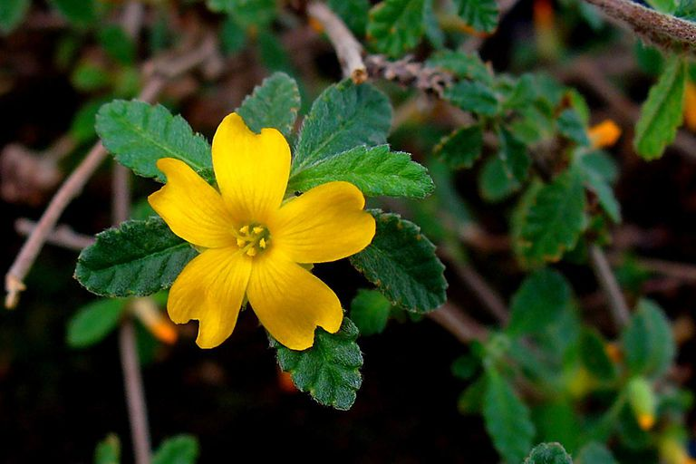 Turnera diffusa var. aphrodisiaca, Turneraceae, Damiana, flower.