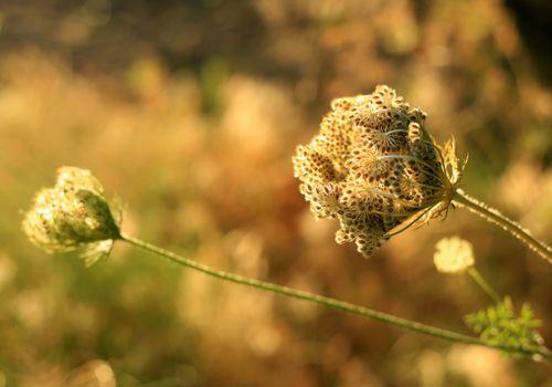 Khella plant