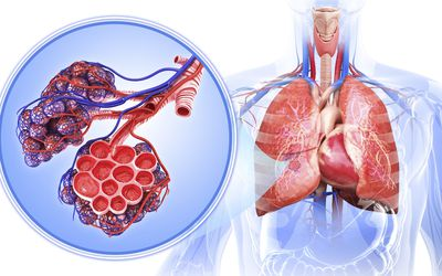 The human respiratory system.