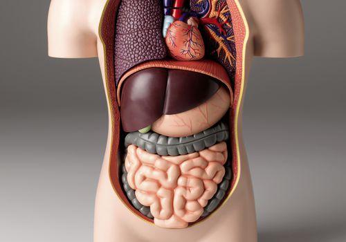 sculpture model of human digestive system