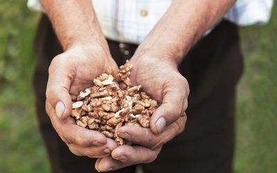 Old man holding a healthy walnuts in his hands