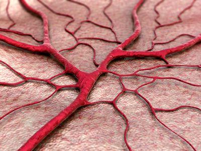 Illustration of veins and capillaries
