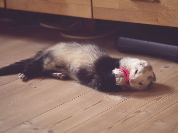 Ferret Resting On Hardwood Floor
