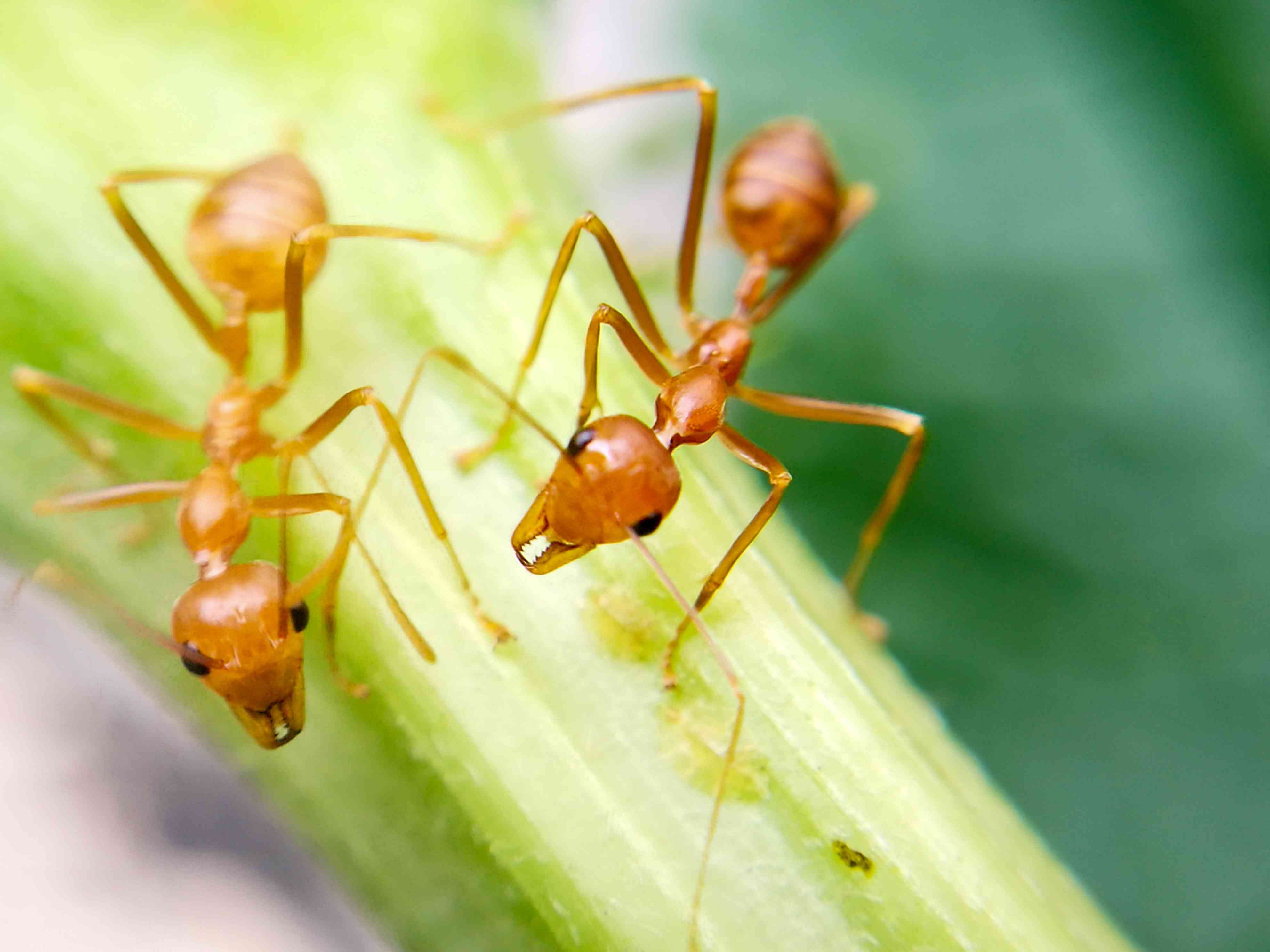 Two fire ants on a plant