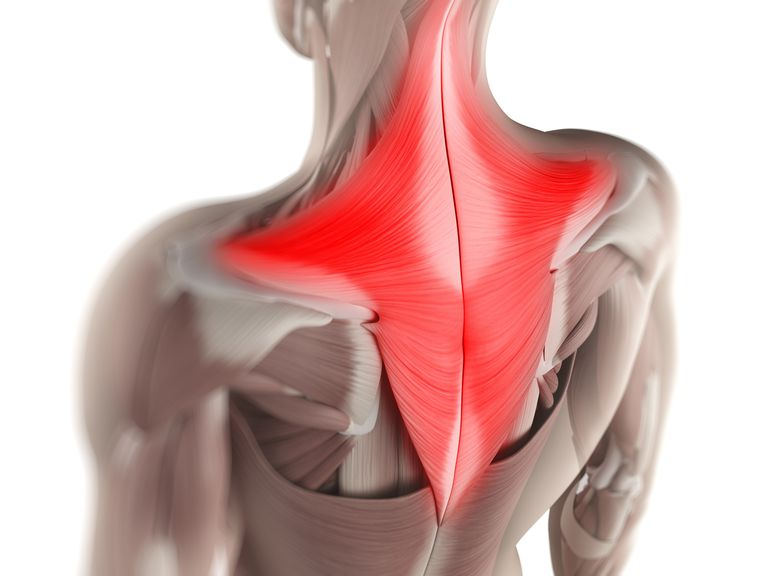 Trapezius Muscle Anatomy And Function