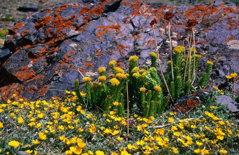 Cinquefoils (Potentilla sp.) and Stone Crop (Rhodiola sp.), lichen-covered rock in the Qachqar-e-Dur Valley - Seen along the Mai Dur Pass trek, in the Gojal region.