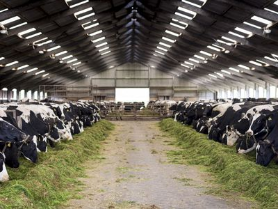 Dairy cows eating in a large barn
