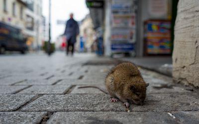 Rat on cobbled street in Frankfurt, Germany