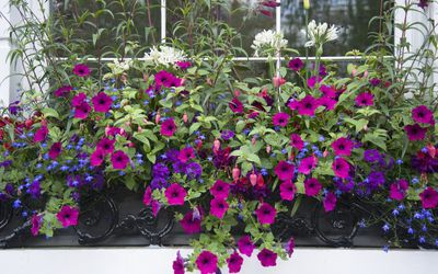 Flower box filled with petunias