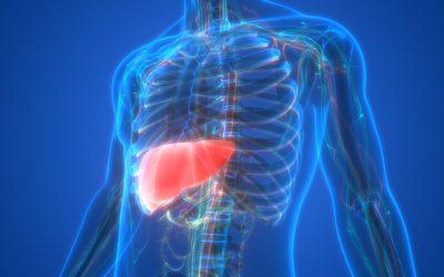 Human Internal Digestive Organ Liver Anatomy