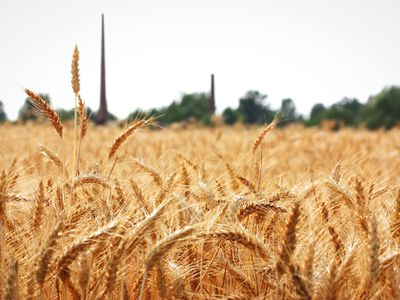 Close-Up Of Fresh Wheat Plants In Field