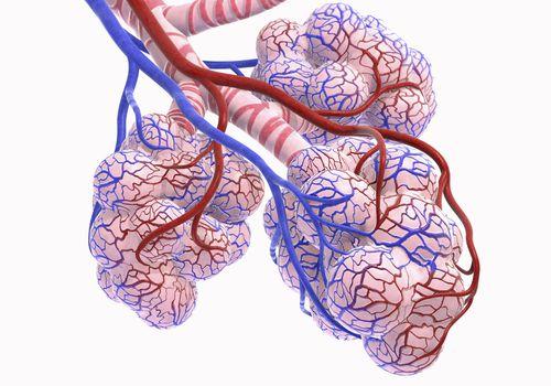 alveoli.jpg