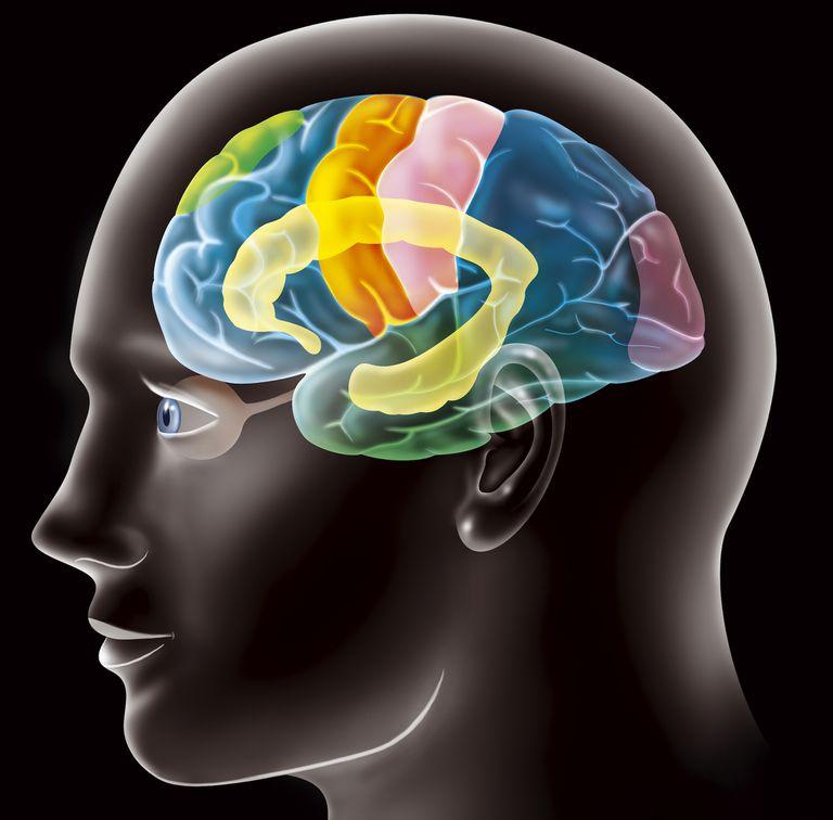 Colorful illustration of the cerebral cortex