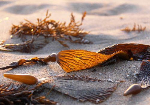 Seaweed, Brown Algae, Kelp, Giant Kelp, Phaeophyceae on the beach in Northern California, USA