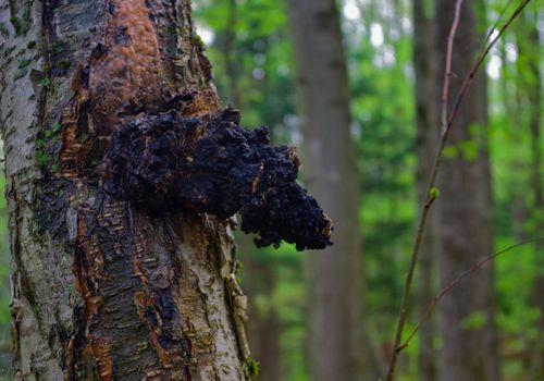 Chaga mushroom (Inonotus obliquus) growing on a birch tree