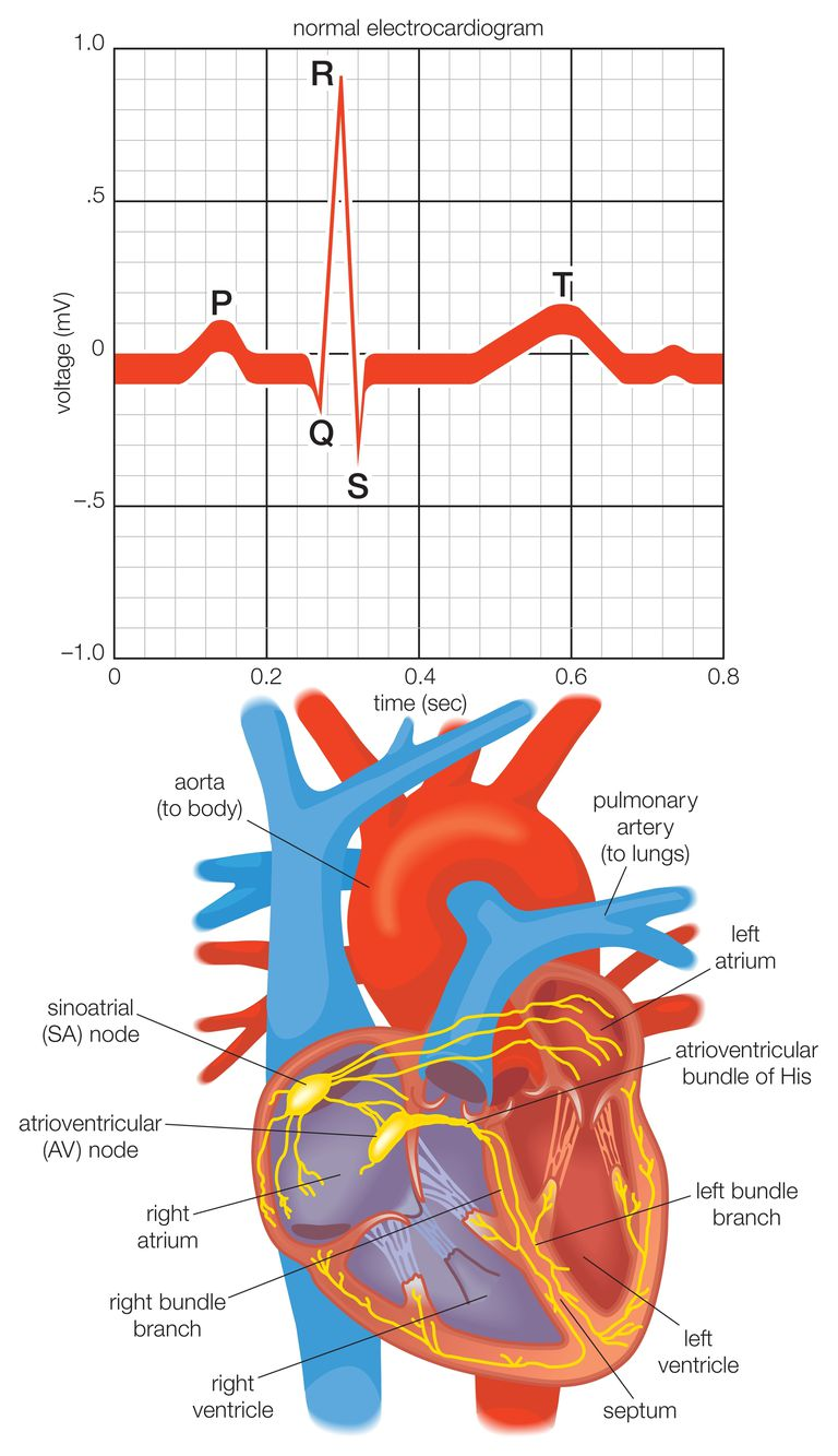 The Cardiac Electrical System and How the Heart Beats