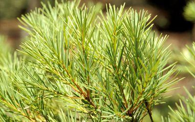 tea tree oil plant (melaleuca alternifolia)