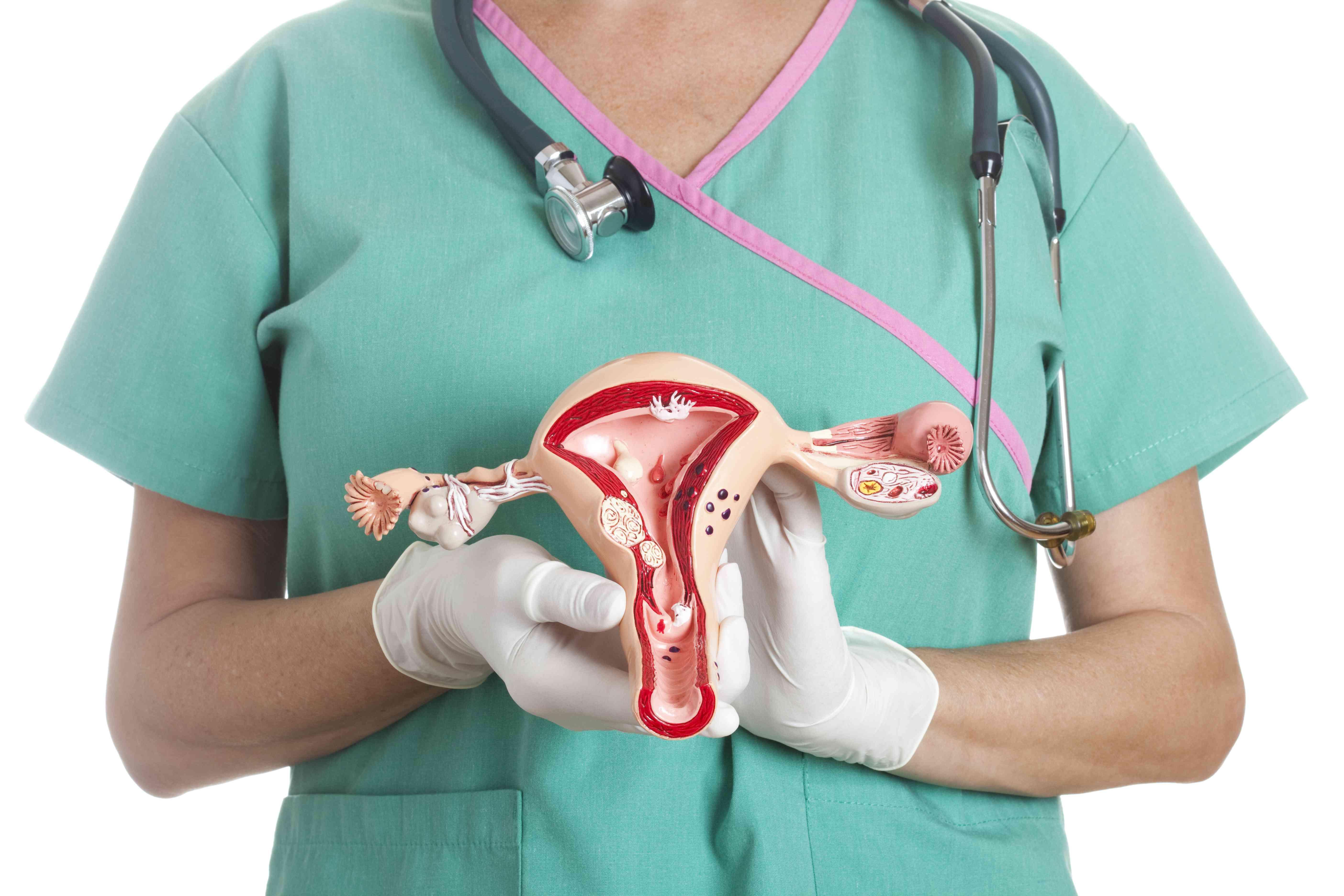 Uterus and ovaries model