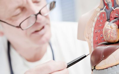 Doctor pointing to model of the human liver