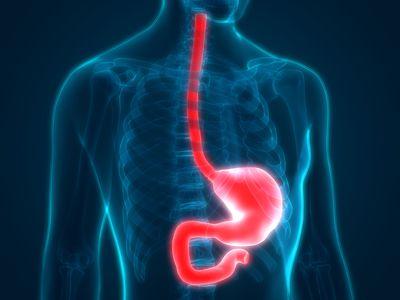 Human Digestive System Anatomy (Stomach)