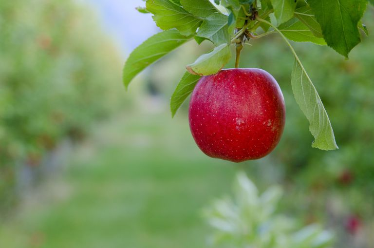 Magnesium malate is found in apples