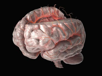 illustration of the arteries of the brain