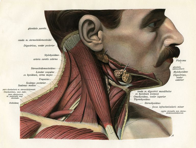 Sternocleidomastoid Neck Muscle Function