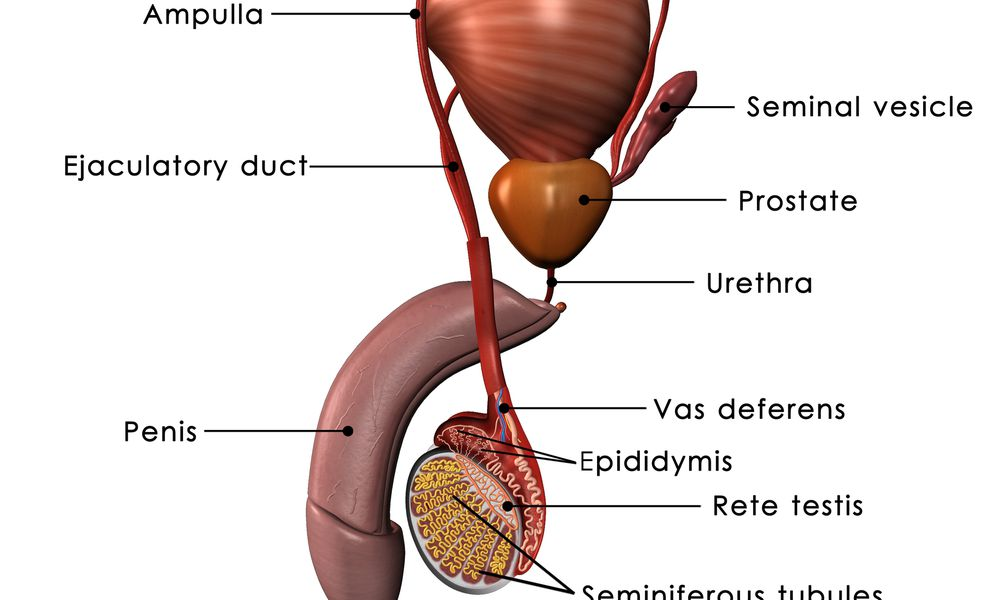 The human male reproductive system.