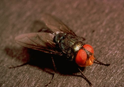 Close up of screwworm fly