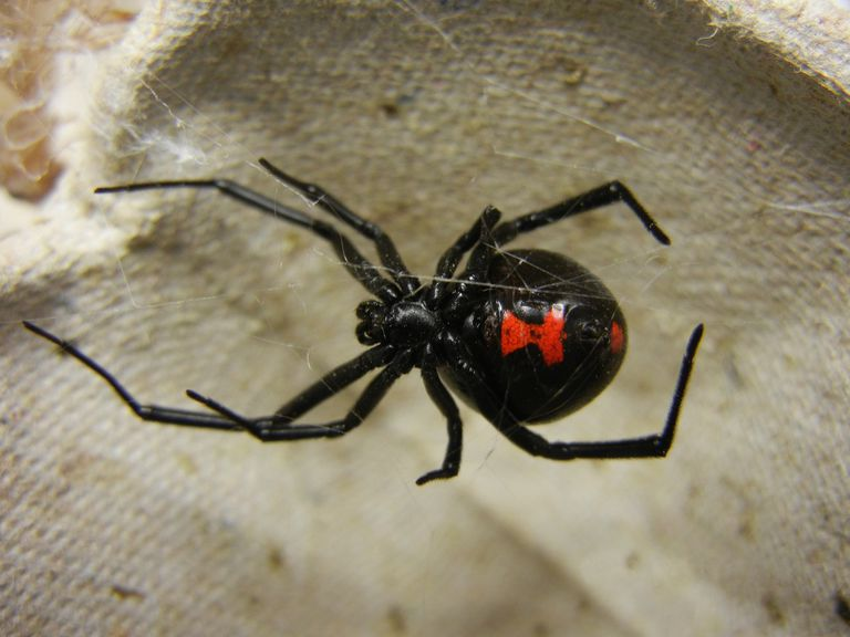 A black widow spider sitting on its web.