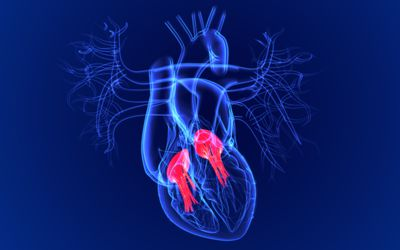 3d Illustration Human Heart Tricuspid and Bicuspid Valve For Medical Concept