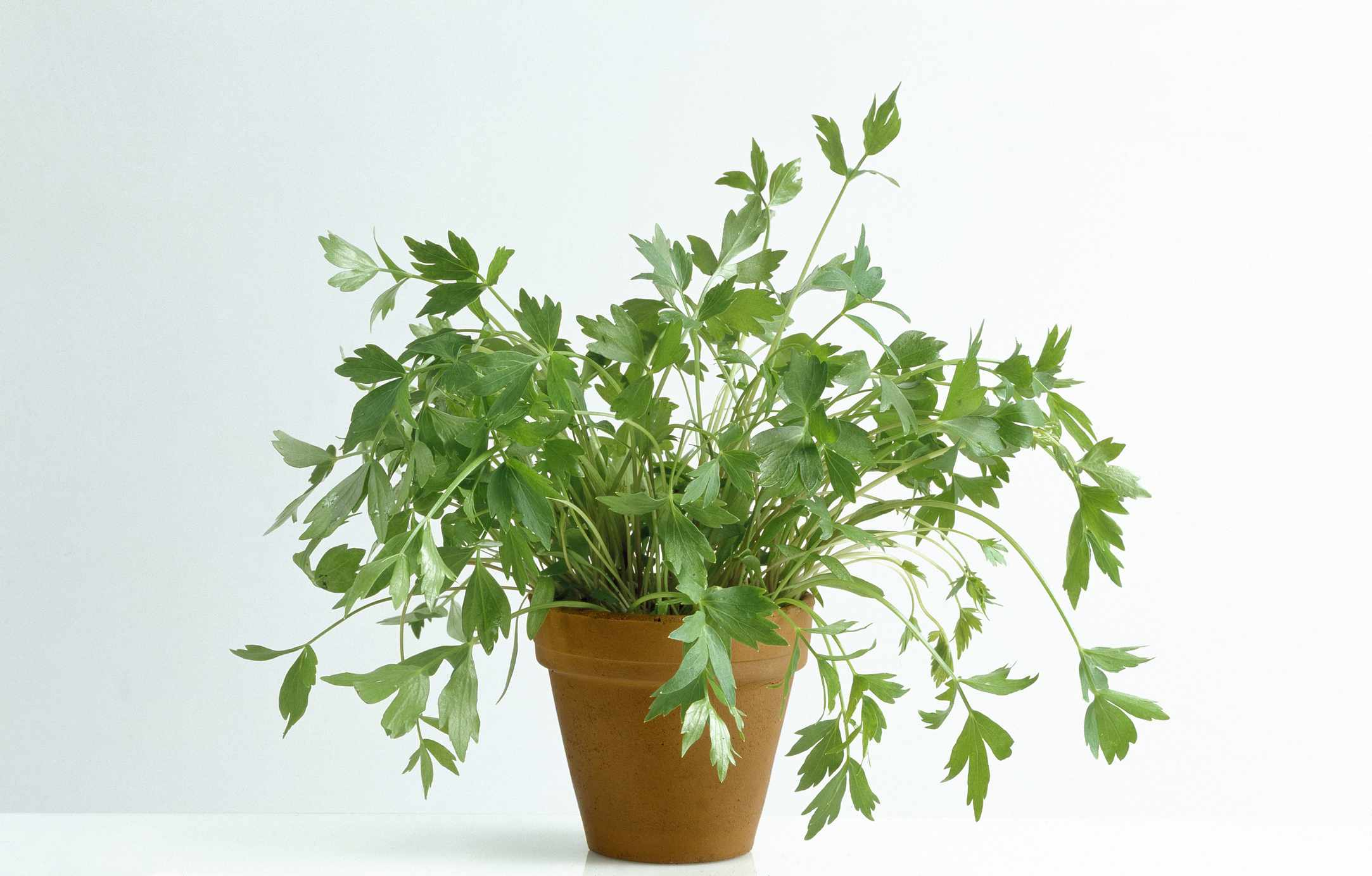 Lovage Medicinal Plant Lovage Levisticum Officinale Seeds