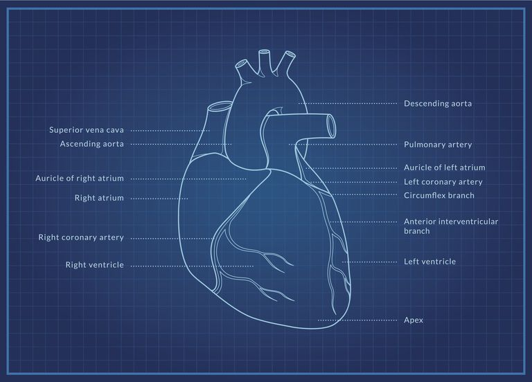 Illustration of the human heart. A medical diagram of the human heart showing the coronary arteries with text labels.
