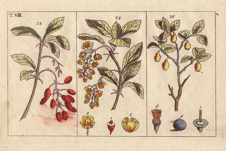 Barberry and bilberry, Berberis vulgaris, Vaccinium myrtillus. Handcolored copperplate engraving of a botanical illustration by J. Schaly from G. T. Wilhelm's Unterhaltungen aus der Naturgeschichte' (Encyclopedia of Natural History)
