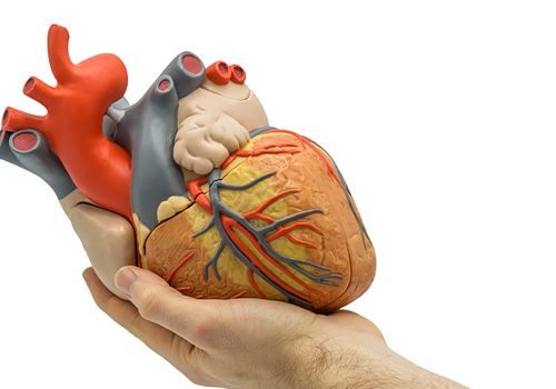 Heart model in a man's hand