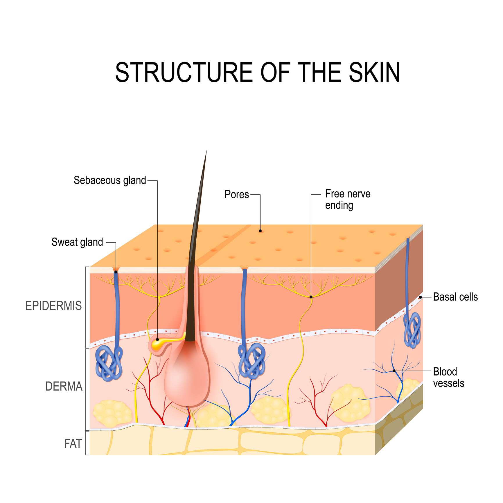 Skin layers with glands (sebaceous and sweat glands). - stock vector