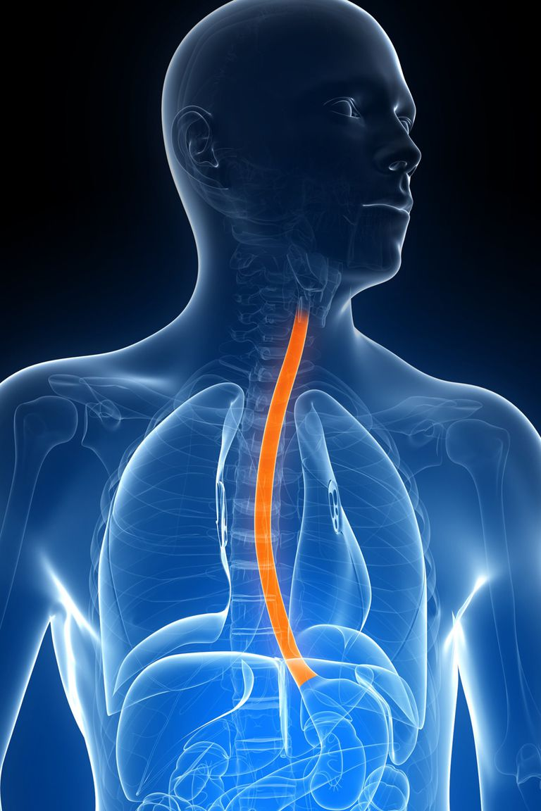 The esophagus, highlighted in orange.