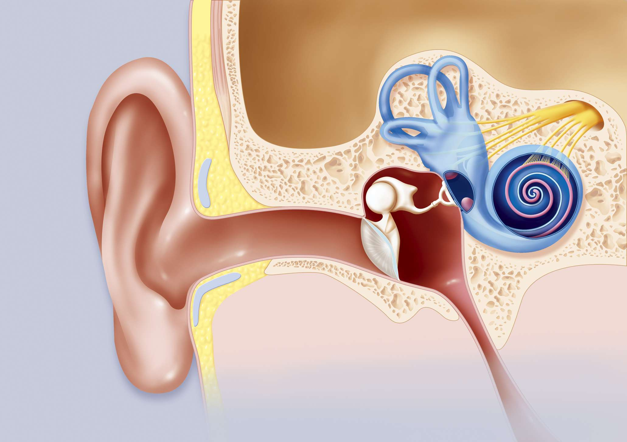 Illustration of the path of sound in the ear